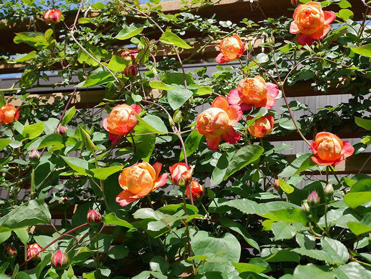 ソレイユロマンティカ(Soleil Romantica)の花がたくさん咲いた。ツルバラ。2021年-029.jpg