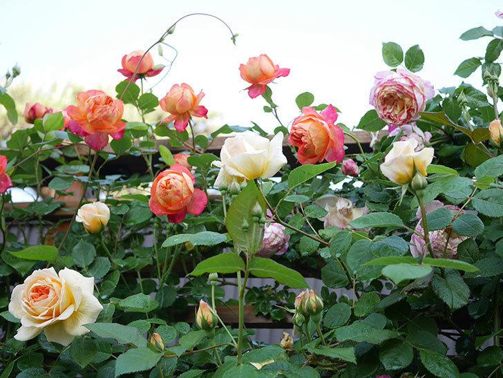 ソレイユロマンティカ(Soleil Romantica)の花がたくさん咲いた。ツルバラ。2021年-030.jpg