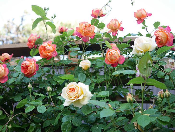 ソレイユロマンティカ(Soleil Romantica)の花がたくさん咲いた。ツルバラ。2021年-031.jpg