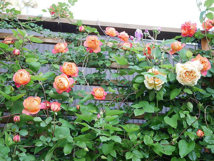 ソレイユロマンティカ(Soleil Romantica)の花がたくさん咲いた。ツルバラ。2021年-032.jpg