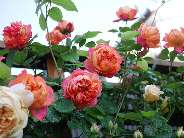 ソレイユロマンティカ(Soleil Romantica)の花がたくさん咲いた。ツルバラ。2021年-033.jpg