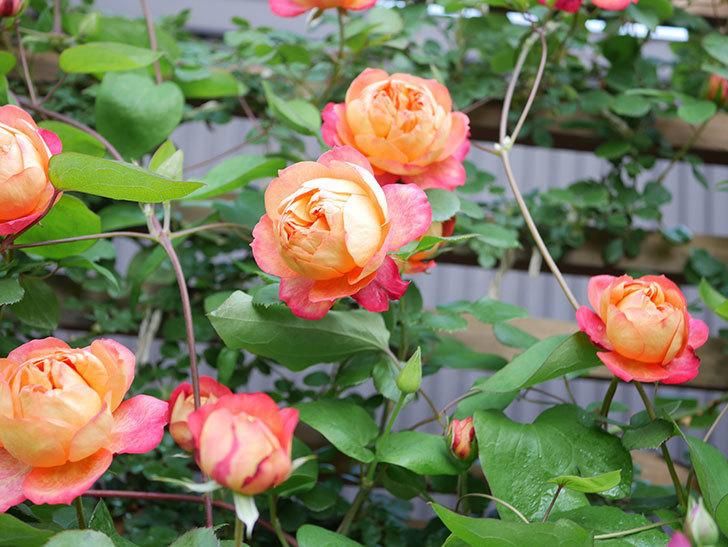 ソレイユロマンティカ(Soleil Romantica)の花がたくさん咲いた。ツルバラ。2021年-034.jpg