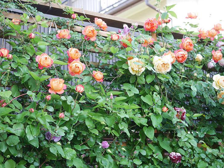 ソレイユロマンティカ(Soleil Romantica)の花がたくさん咲いた。ツルバラ。2021年-035.jpg