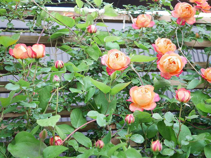 ソレイユロマンティカ(Soleil Romantica)の花がたくさん咲いた。ツルバラ。2021年-036.jpg