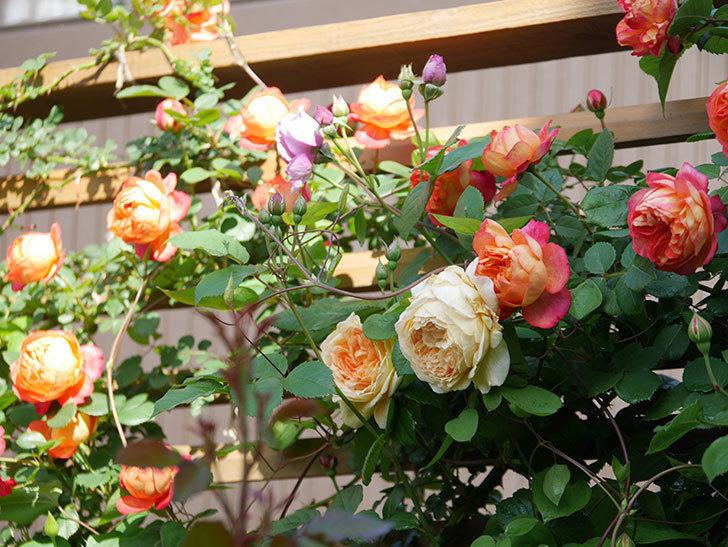 ソレイユロマンティカ(Soleil Romantica)の花がたくさん咲いた。ツルバラ。2021年-037.jpg