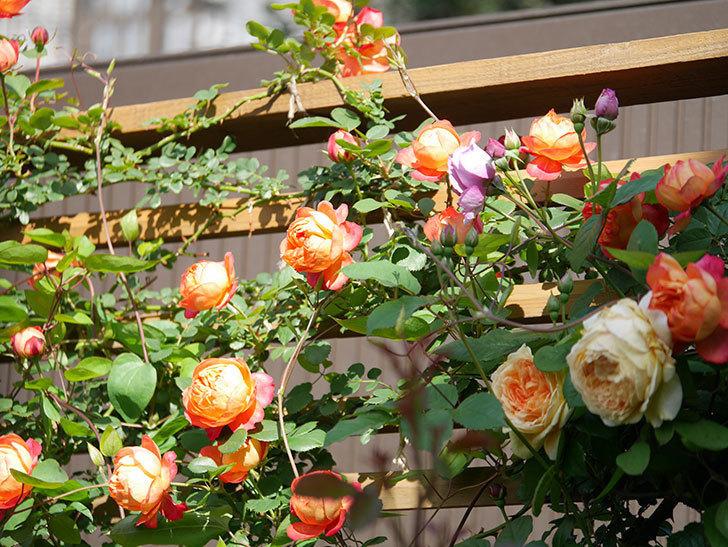 ソレイユロマンティカ(Soleil Romantica)の花がたくさん咲いた。ツルバラ。2021年-038.jpg