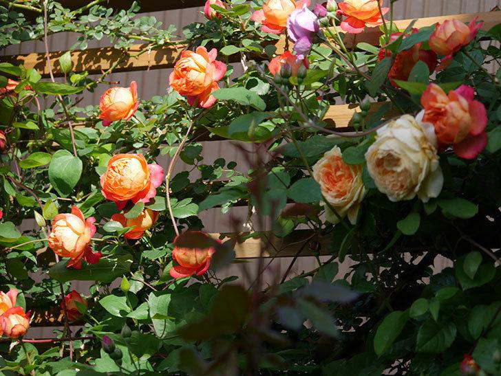 ソレイユロマンティカ(Soleil Romantica)の花がたくさん咲いた。ツルバラ。2021年-039.jpg