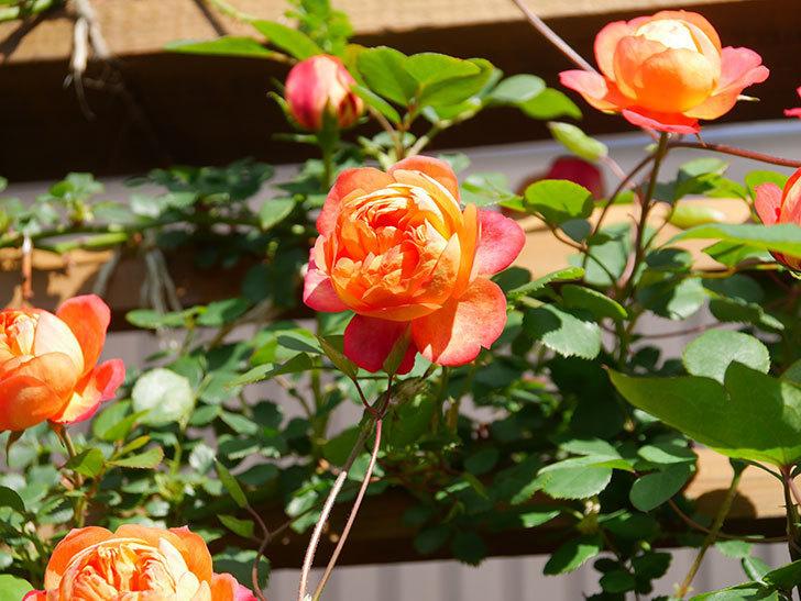 ソレイユロマンティカ(Soleil Romantica)の花がたくさん咲いた。ツルバラ。2021年-040.jpg