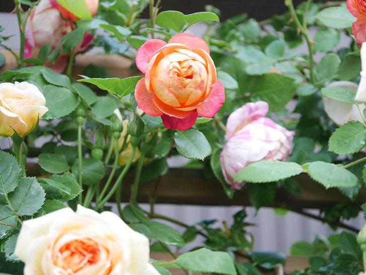 ソレイユロマンティカ(Soleil Romantica)の花がたくさん咲いた。ツルバラ。2021年-041.jpg