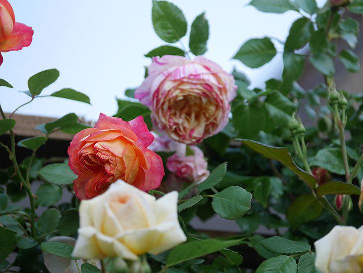 ソレイユロマンティカ(Soleil Romantica)の花がたくさん咲いた。ツルバラ。2021年-042.jpg
