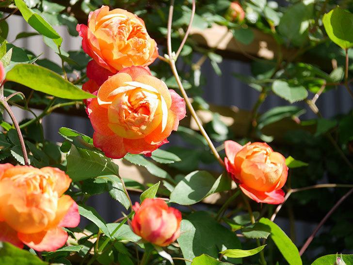 ソレイユロマンティカ(Soleil Romantica)の花がたくさん咲いた。ツルバラ。2021年-043.jpg