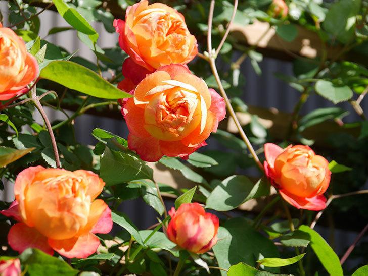 ソレイユロマンティカ(Soleil Romantica)の花がたくさん咲いた。ツルバラ。2021年-044.jpg
