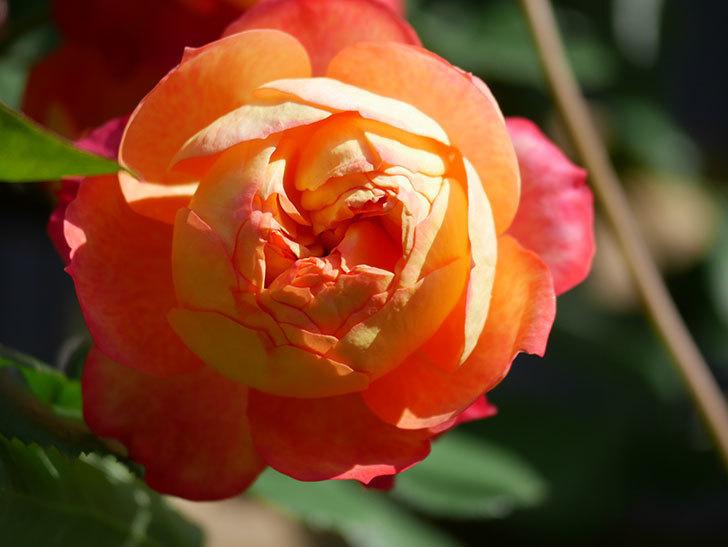ソレイユロマンティカ(Soleil Romantica)の花がたくさん咲いた。ツルバラ。2021年-046.jpg