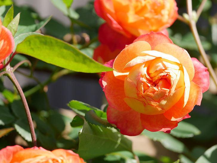 ソレイユロマンティカ(Soleil Romantica)の花がたくさん咲いた。ツルバラ。2021年-047.jpg