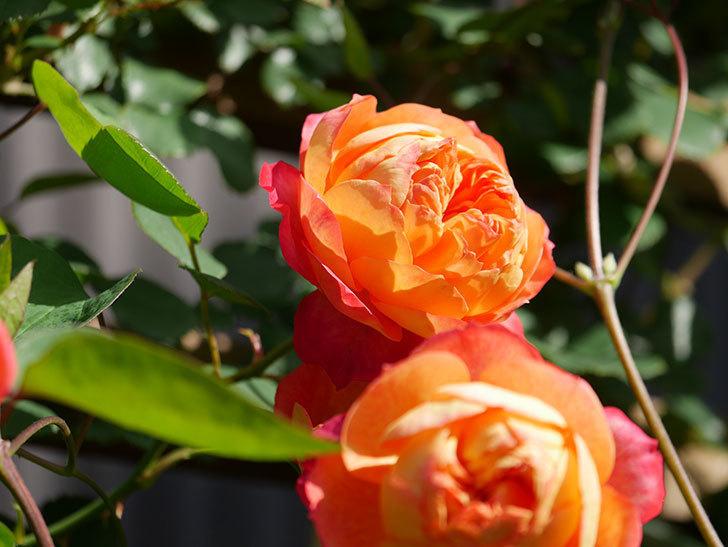 ソレイユロマンティカ(Soleil Romantica)の花がたくさん咲いた。ツルバラ。2021年-048.jpg