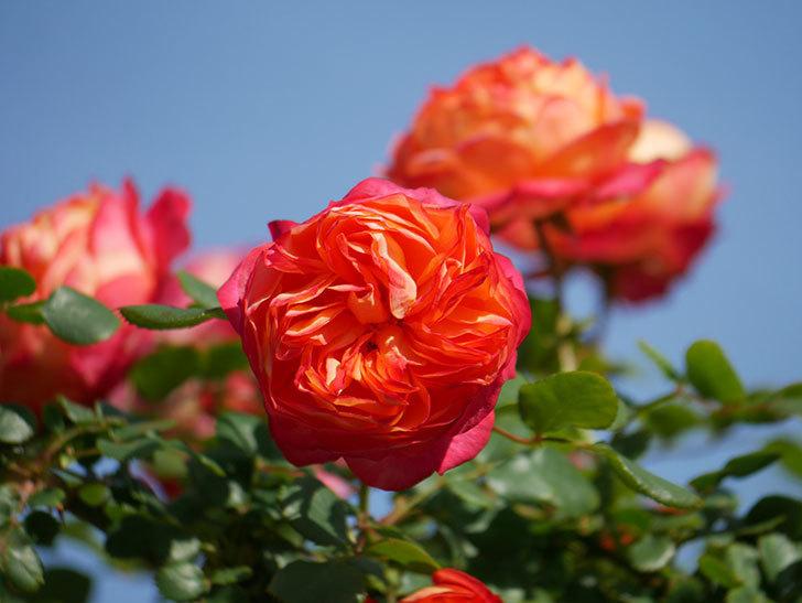 ソレイユロマンティカ(Soleil Romantica)の花がたくさん咲いた。ツルバラ。2021年-050.jpg