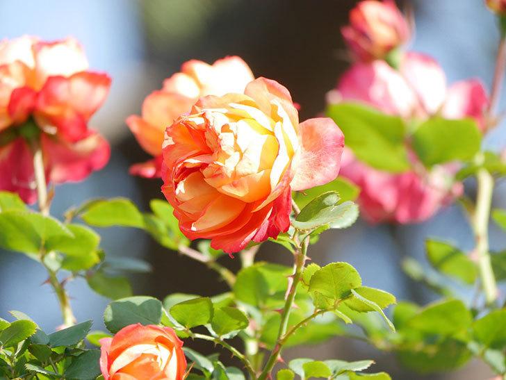 ソレイユロマンティカ(Soleil Romantica)の花がたくさん咲いた。ツルバラ。2021年-051.jpg