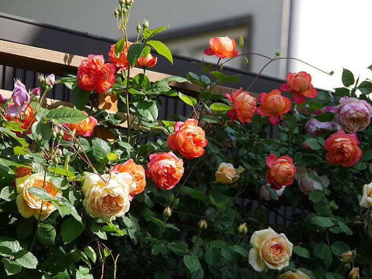 ソレイユロマンティカ(Soleil Romantica)の花がたくさん咲いた。ツルバラ。2021年-052.jpg