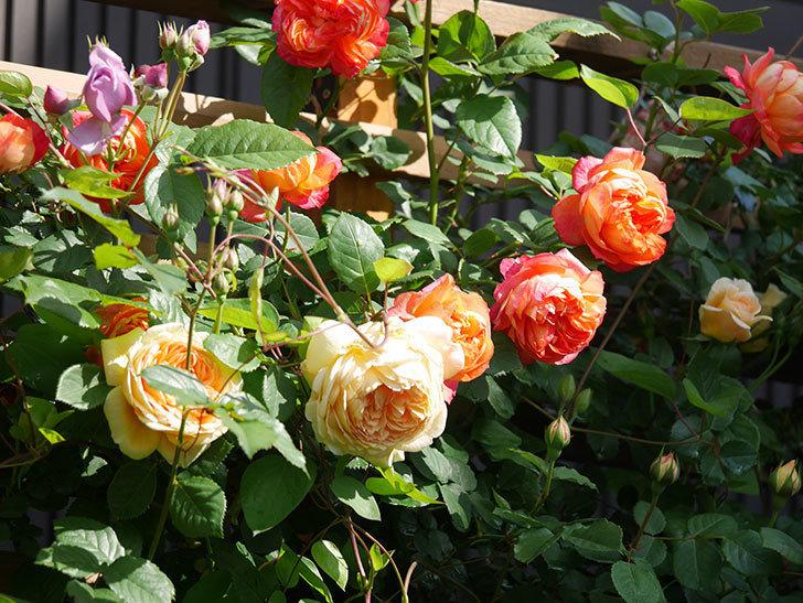 ソレイユロマンティカ(Soleil Romantica)の花がたくさん咲いた。ツルバラ。2021年-053.jpg