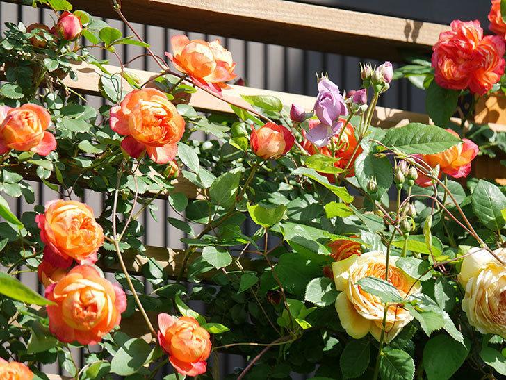 ソレイユロマンティカ(Soleil Romantica)の花がたくさん咲いた。ツルバラ。2021年-054.jpg