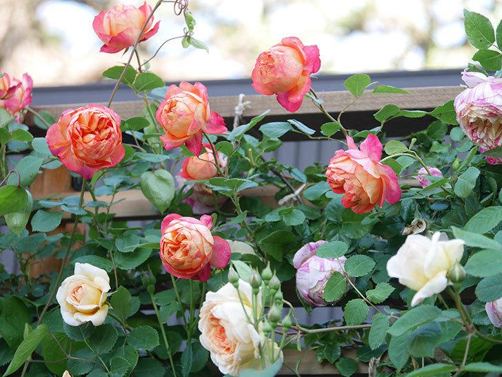 ソレイユロマンティカ(Soleil Romantica)の花がたくさん咲いた。ツルバラ。2021年-056.jpg