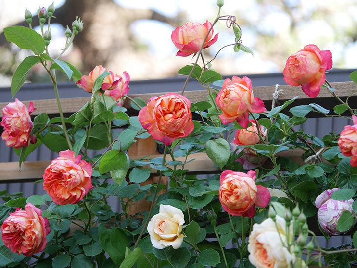 ソレイユロマンティカ(Soleil Romantica)の花がたくさん咲いた。ツルバラ。2021年-057.jpg