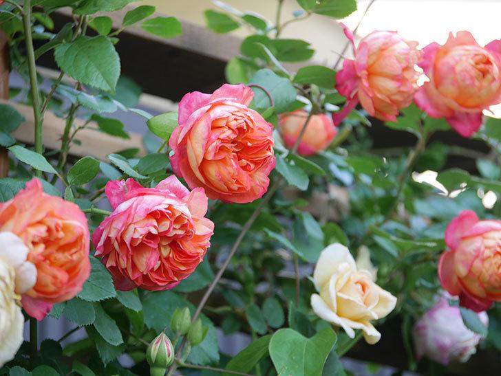 ソレイユロマンティカ(Soleil Romantica)の花がたくさん咲いた。ツルバラ。2021年-058.jpg