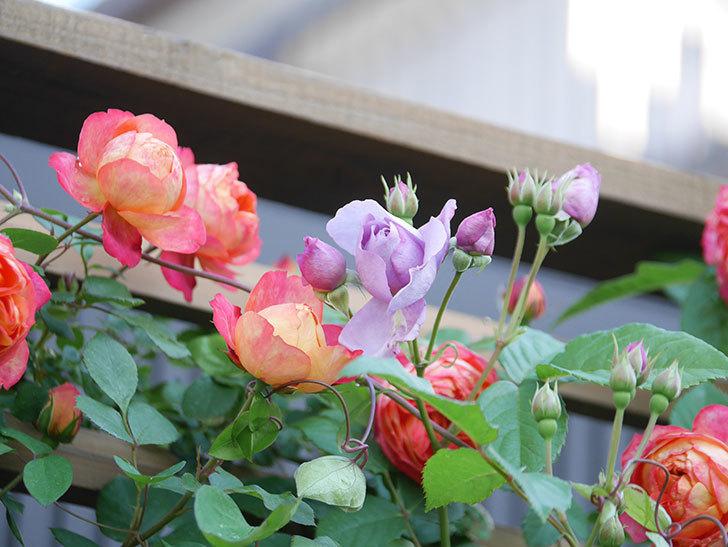 ソレイユロマンティカ(Soleil Romantica)の花がたくさん咲いた。ツルバラ。2021年-059.jpg