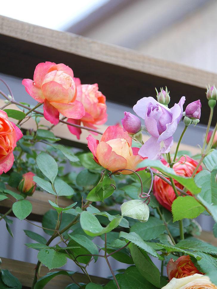 ソレイユロマンティカ(Soleil Romantica)の花がたくさん咲いた。ツルバラ。2021年-060.jpg