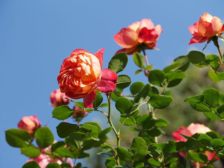 ソレイユロマンティカ(Soleil Romantica)の花がたくさん咲いた。ツルバラ。2021年-061.jpg
