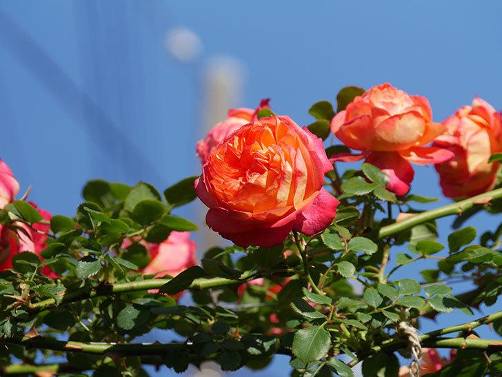 ソレイユロマンティカ(Soleil Romantica)の花がたくさん咲いた。ツルバラ。2021年-062.jpg