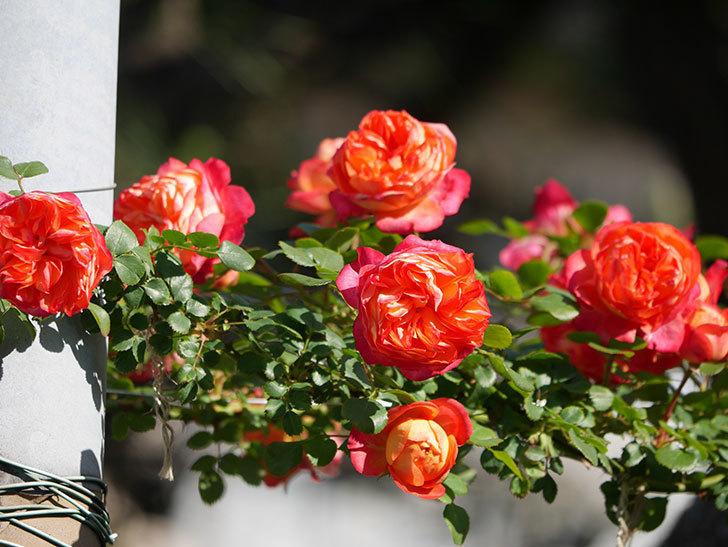 ソレイユロマンティカ(Soleil Romantica)の花がたくさん咲いた。ツルバラ。2021年-063.jpg