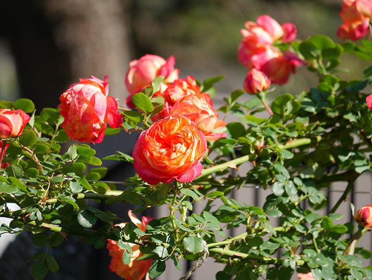 ソレイユロマンティカ(Soleil Romantica)の花がたくさん咲いた。ツルバラ。2021年-064.jpg