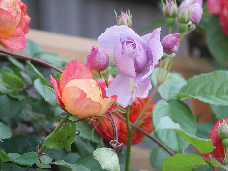 ソレイユロマンティカ(Soleil Romantica)の花がたくさん咲いた。ツルバラ。2021年-065.jpg