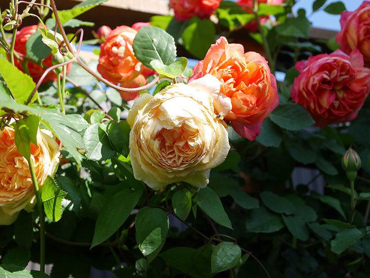 ソレイユロマンティカ(Soleil Romantica)の花がたくさん咲いた。ツルバラ。2021年-067.jpg