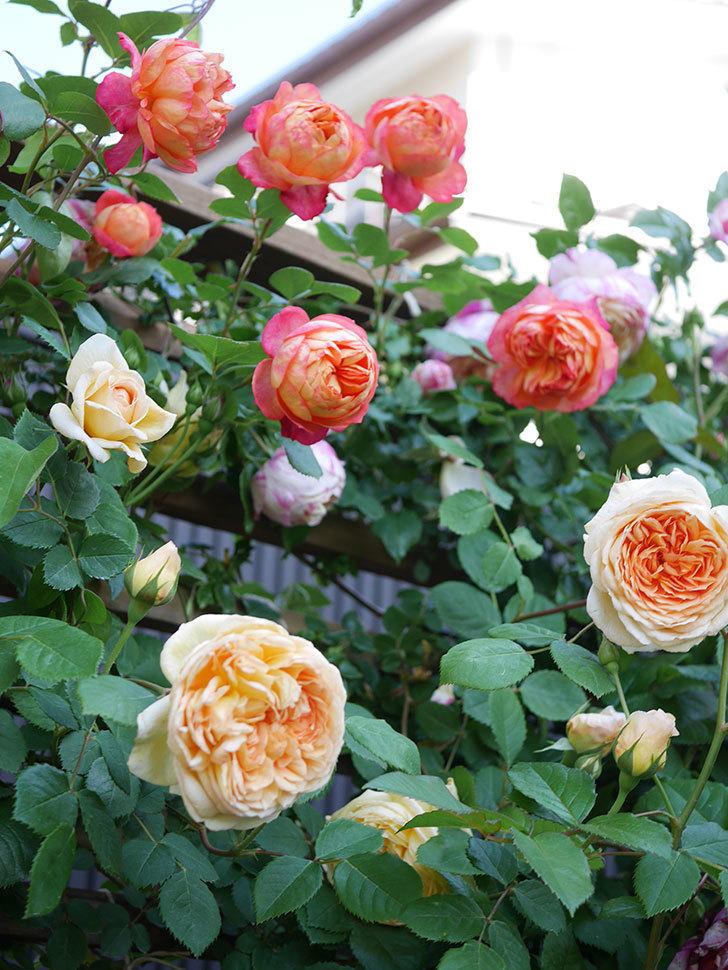 ソレイユロマンティカ(Soleil Romantica)の花がたくさん咲いた。ツルバラ。2021年-068.jpg