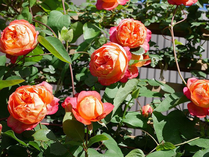 ソレイユロマンティカ(Soleil Romantica)の花がたくさん咲いた。ツルバラ。2021年-069.jpg