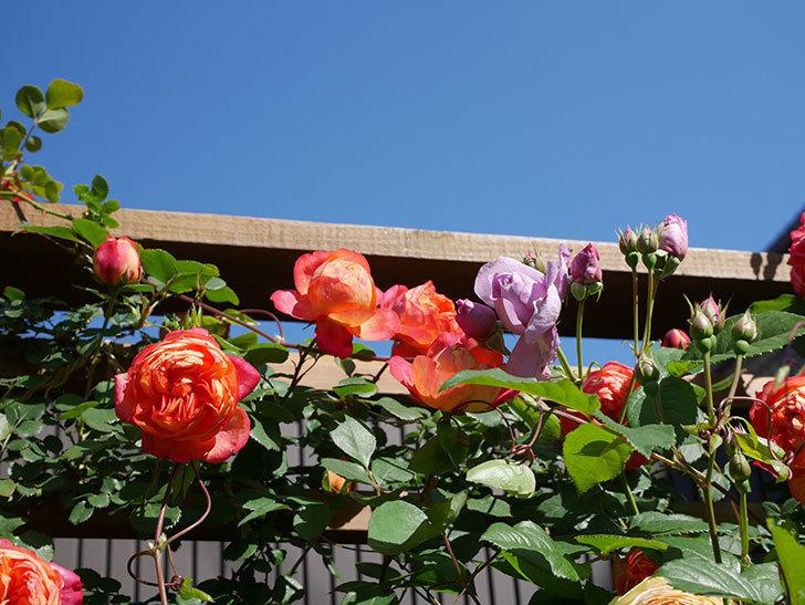 ソレイユロマンティカ(Soleil Romantica)の花がたくさん咲いた。ツルバラ。2021年-070.jpg