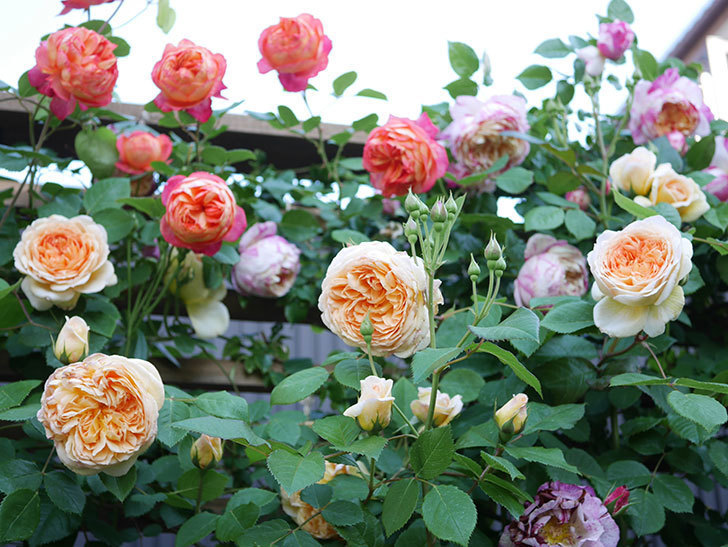 ソレイユロマンティカ(Soleil Romantica)の花がたくさん咲いた。ツルバラ。2021年-071.jpg