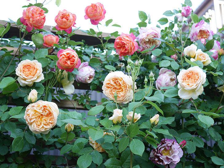 ソレイユロマンティカ(Soleil Romantica)の花がたくさん咲いた。ツルバラ。2021年-072.jpg