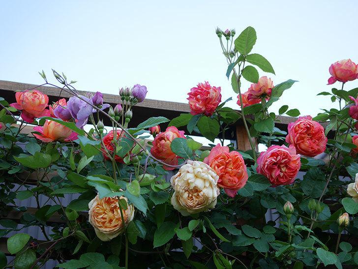 ソレイユロマンティカ(Soleil Romantica)の花がたくさん咲いた。ツルバラ。2021年-073.jpg