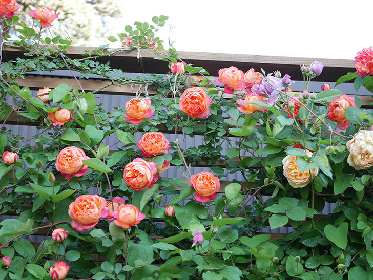 ソレイユロマンティカ(Soleil Romantica)の花がたくさん咲いた。ツルバラ。2021年-074.jpg