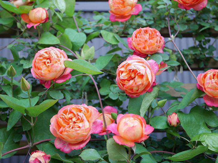 ソレイユロマンティカ(Soleil Romantica)の花がたくさん咲いた。ツルバラ。2021年-075.jpg