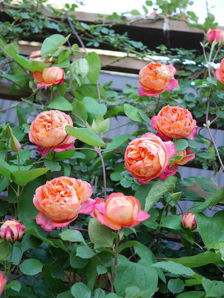 ソレイユロマンティカ(Soleil Romantica)の花がたくさん咲いた。ツルバラ。2021年-076.jpg