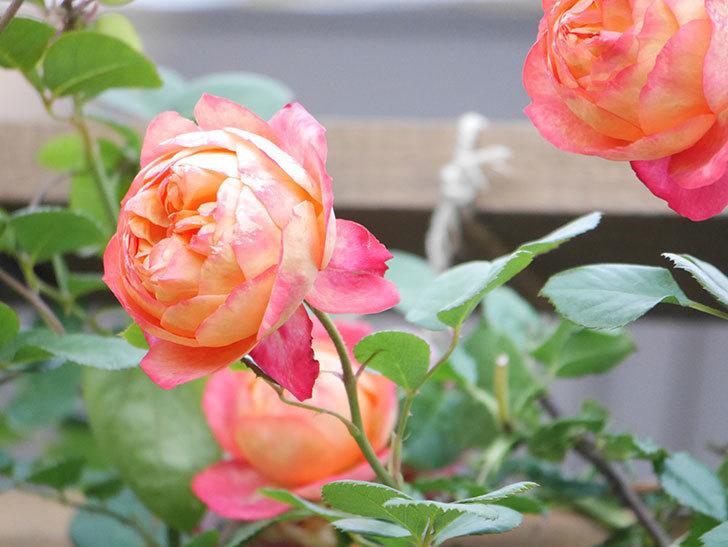 ソレイユロマンティカ(Soleil Romantica)の花がたくさん咲いた。ツルバラ。2021年-077.jpg