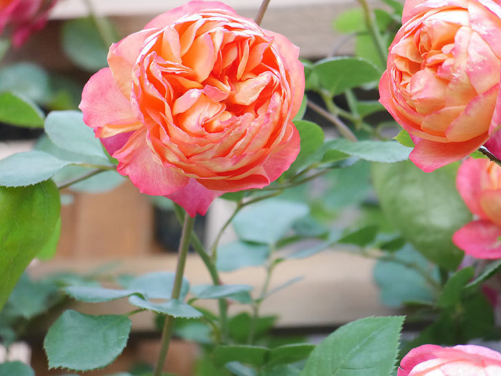 ソレイユロマンティカ(Soleil Romantica)の花がたくさん咲いた。ツルバラ。2021年-078.jpg