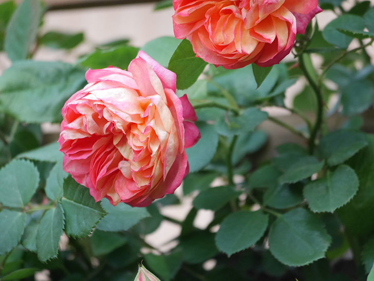 ソレイユロマンティカ(Soleil Romantica)の花がたくさん咲いた。ツルバラ。2021年-080.jpg