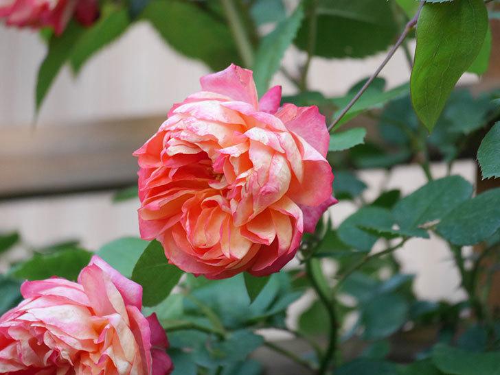 ソレイユロマンティカ(Soleil Romantica)の花がたくさん咲いた。ツルバラ。2021年-081.jpg