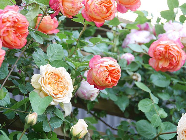 ソレイユロマンティカ(Soleil Romantica)の花がたくさん咲いた。ツルバラ。2021年-082.jpg