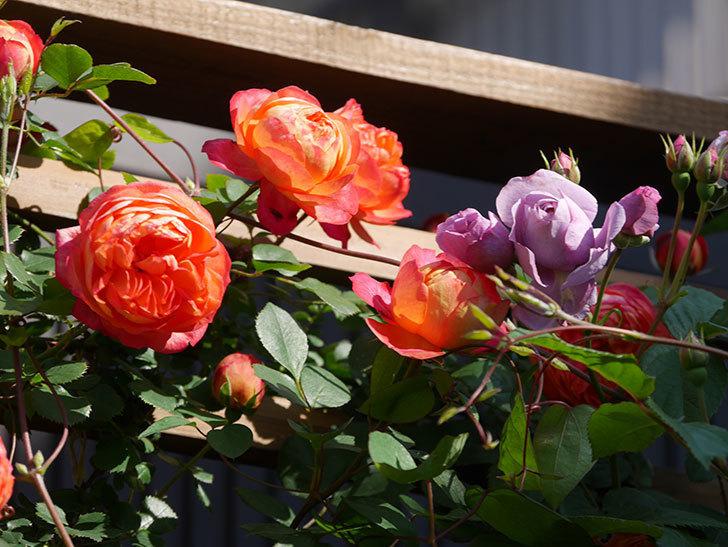 ソレイユロマンティカ(Soleil Romantica)の花がたくさん咲いた。ツルバラ。2021年-083.jpg